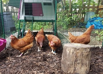 Chicken Adoption