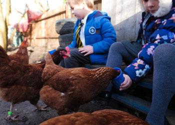October Chicken Adoption